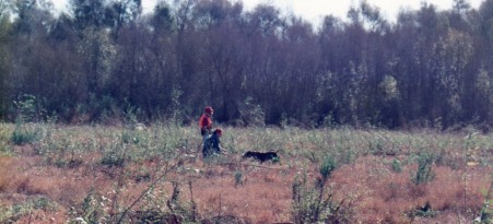 Tacho hunting pheasant at Rahauges, Corona