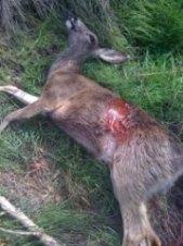 52.Jarvs Deer