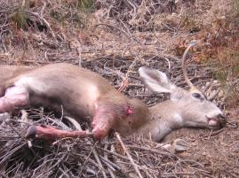 Tacho arrowed buck in Angeles Fores