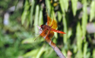 Dragonfly, Puente Hills 2015