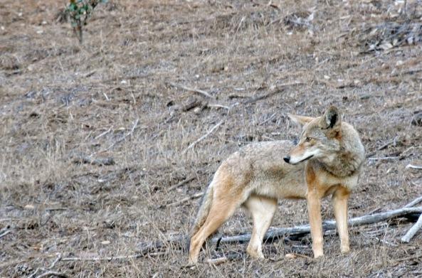 Altadena Coyote 2014