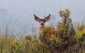 Angeles Forest Buck 2014