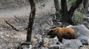 Black bear at Monrovia Canyon Falls hike