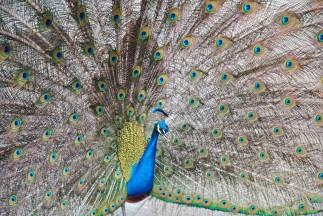 Peacock Santa Anita Arboretum 2014