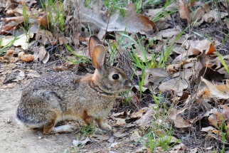 Puente Hills Cottontail 2014