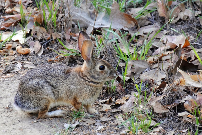 Cottontail at Puente Hills