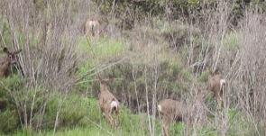 Puente Hills Deer 2013