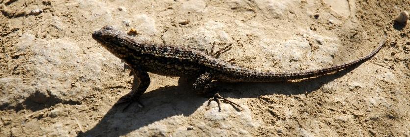 Puente Hills Lizard 2015