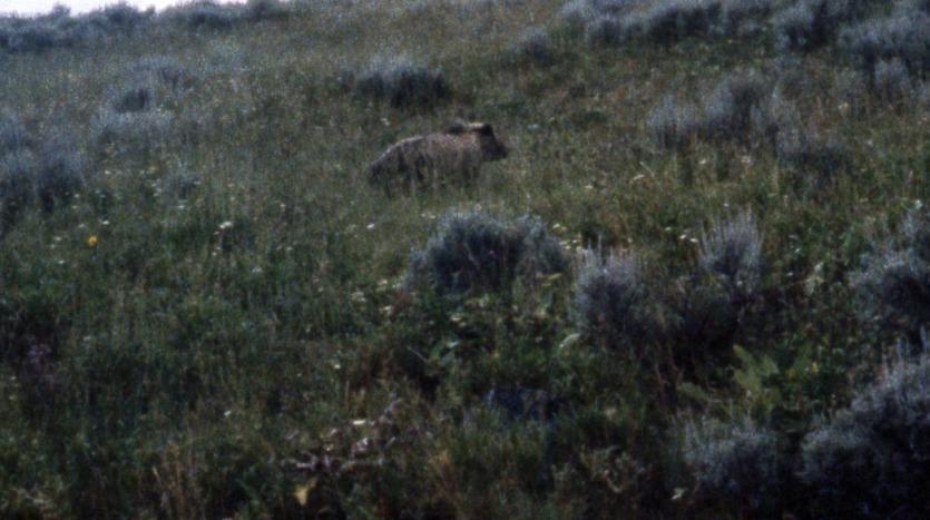 Grizzlies, Yellowstone