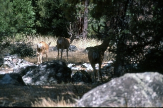 Bucks at Sequoia