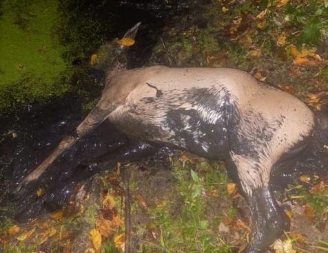 Tacho's Indiana deer 2020